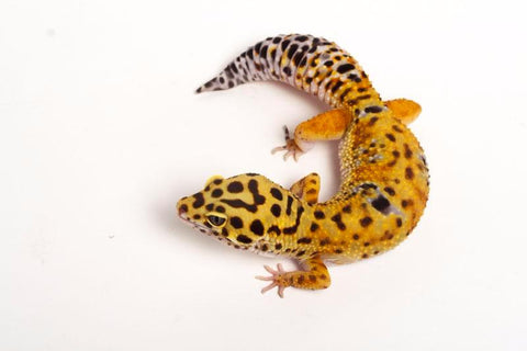 Halloween Mask Tangerine Leopard Gecko - 042416 - female