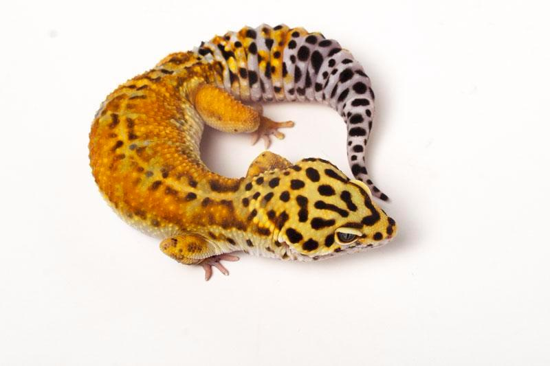 Halloween Mask Tangerine Leopard Gecko - 082816 - female