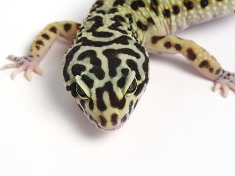 Halloween Mask R2 Bold Leopard Gecko - 041910 - female