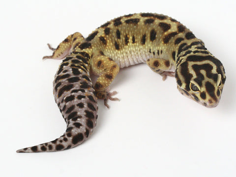 Pure Halloween Mask Leopard Gecko - 052913A - female