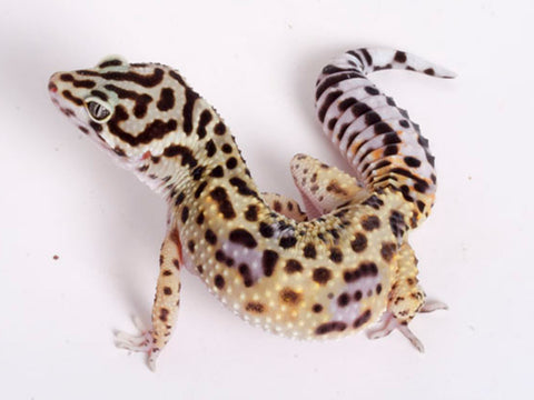 Extreme Halloween - Pure Halloween Mask Leopard Gecko - 070318a - female