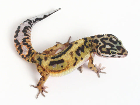 Extreme Halloween - Pure Halloween Mask Leopard Gecko - 072514 - female