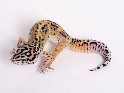 Extreme Halloween - Pure Halloween Mask Leopard Gecko - 072718a - male