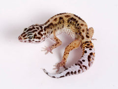 Extreme Halloween - Pure Halloween Mask Leopard Gecko - 072718b - male