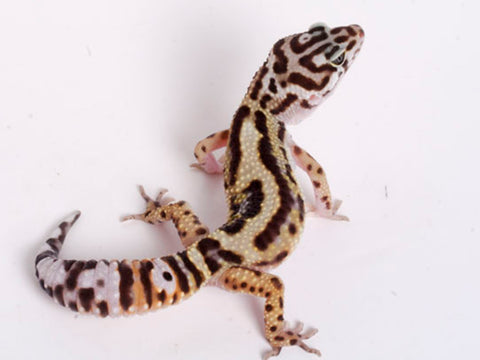 Extreme Halloween - Pure Halloween Mask Leopard Gecko - 080118a - female