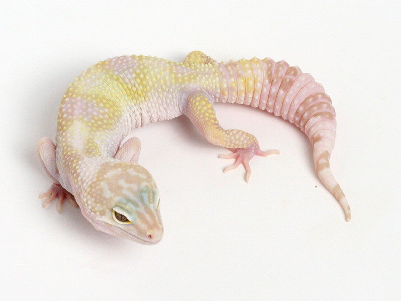 Tremper Albino Halloween Mask X TUG Snow Leopard Gecko - 071013b - female