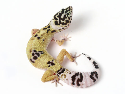 Halloween Mask X TUG Snow Leopard Gecko - 070513b - female