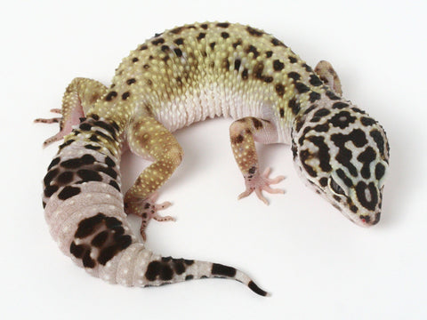 4 HM X TUG Snows (Bold Black and White) - Gecko Group 4
