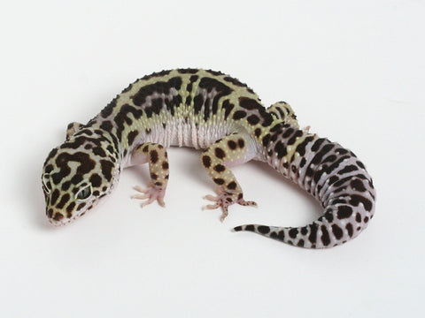 Halloween Mask X TUG Snow Leopard Gecko -  061012 - female