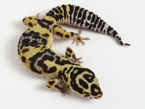 Halloween Mask X TUG Snow Leopard Gecko -  080612a - female