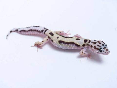 TUG Snow Halloween Mask Leopard Gecko - 081517b - female