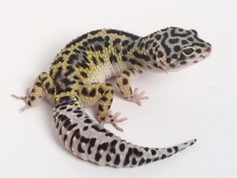 3 HM X TUG Snows (Bold Black and White) - Gecko Group 1