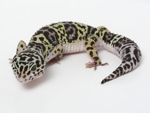 Halloween Mask X TUG Snow Leopard Gecko -  092713 - female
