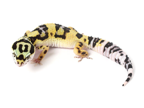 Halloween Mask X TUG Snow Leopard Gecko - 091213a - female