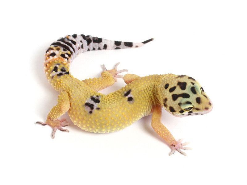 Halloween Mask X TUG Snow Leopard Gecko - 091213b - female