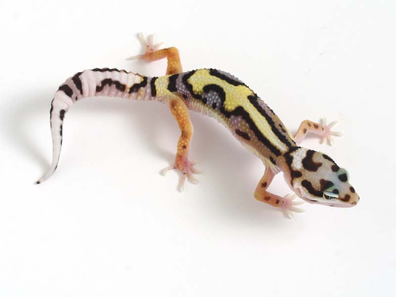 Halloween Mask X TUG Snow Leopard Gecko 042412b - female
