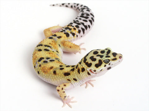 Halloween Mask X Green Tangerine Leopard Gecko - 0062013a - female