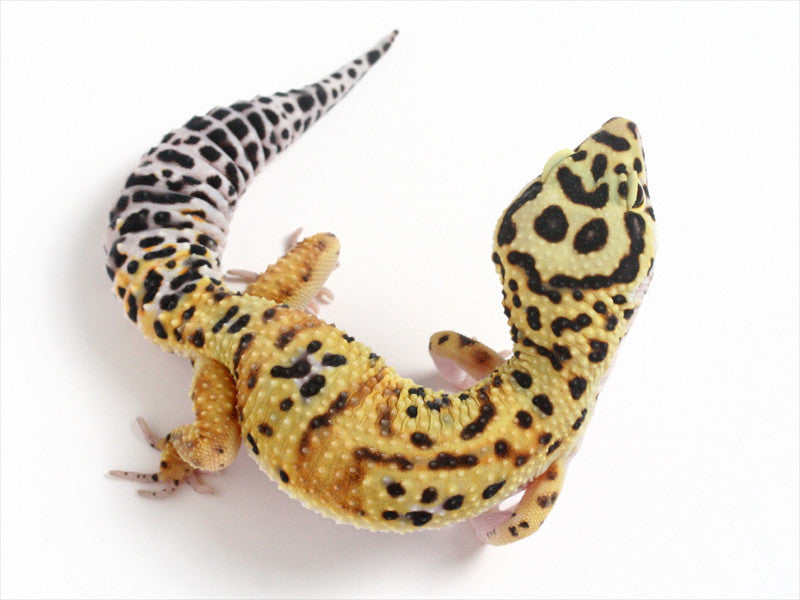 Halloween Mask X Green Tangerine Leopard Gecko - 0062013b - female