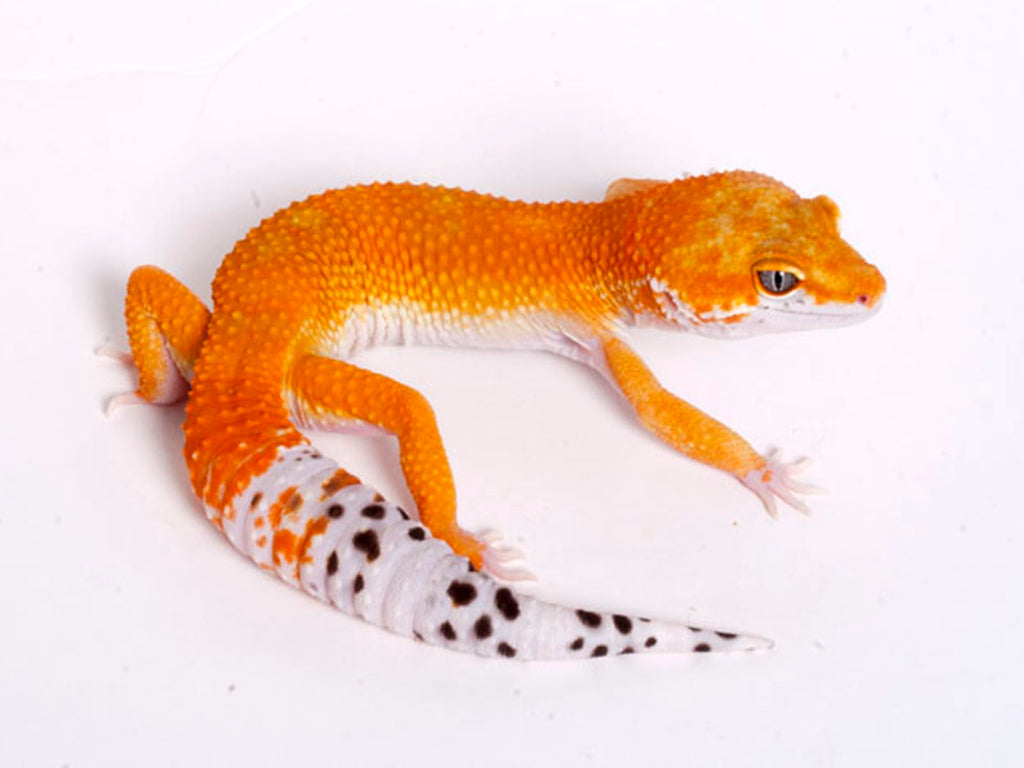 Tango Crush White and Yellow het Tremper poss het Eclipse Leopard Gecko - 043018a - male