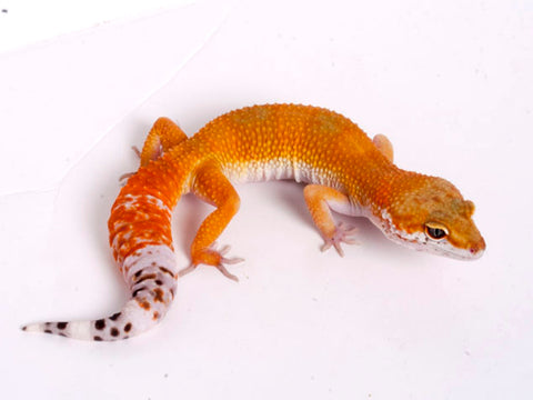 Tango Crush White and Yellow het Tremper poss het Eclipse Leopard Gecko - 052218b - female