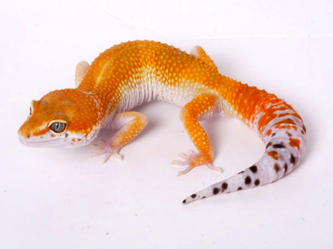 Tango Crush White and Yellow het Tremper poss het Eclipse Leopard Gecko - 060518a - male