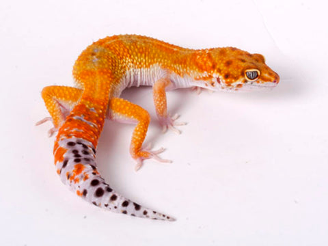 Tango Crush White and Yellow het Tremper poss het Eclipse Leopard Gecko - 060518b - female