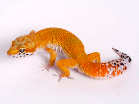 Tango Crush White and Yellow het Tremper poss het Eclipse Leopard Gecko - 060918a - male