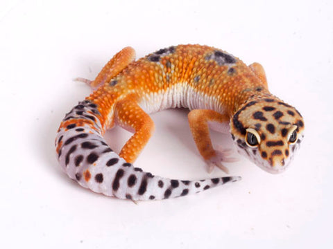 Tango Crush White and Yellow het Tremper poss het Eclipse Leopard Gecko - 070318a - male