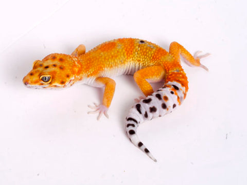 Tango Crush White and Yellow het Tremper poss het Eclipse Leopard Gecko - 070318b - male