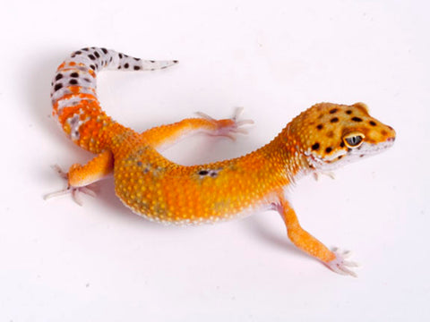 Tango Crush White and Yellow het Tremper poss het Eclipse Leopard Gecko - 071118a - female