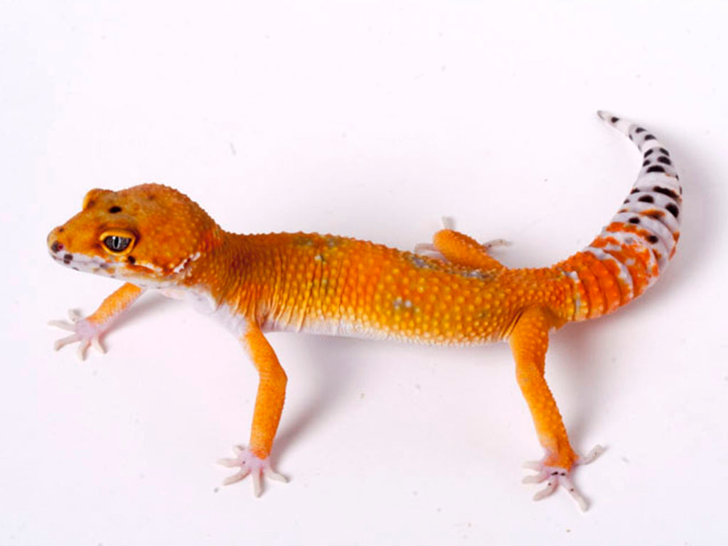 Tango Crush White and Yellow het Tremper poss het Eclipse Leopard Gecko - 071118b - male