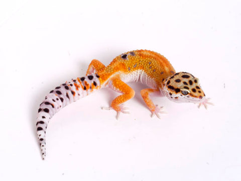 Tango Crush White and Yellow het Tremper poss het Eclipse Leopard Gecko - 080118a - female