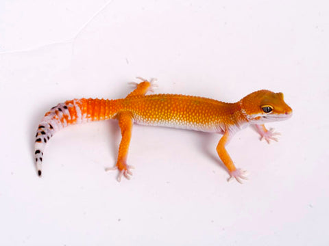 Tango Crush White and Yellow het Tremper poss het Eclipse Leopard Gecko - 080118b - female