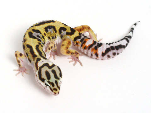 Bold Black & White - Halloween Mask X TUG Snow Leopard Gecko - 061114- Male