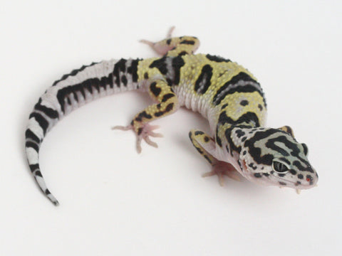 Bold Black & White - Halloween Mask X TUG Snow Leopard Gecko - 072514- Male