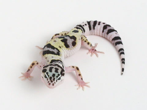Bold Black & White - Halloween Mask X TUG Snow Leopard Gecko - 072514b- Female
