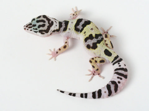 3 HM X TUG Snows (Bold Black and White) - Gecko Group 3