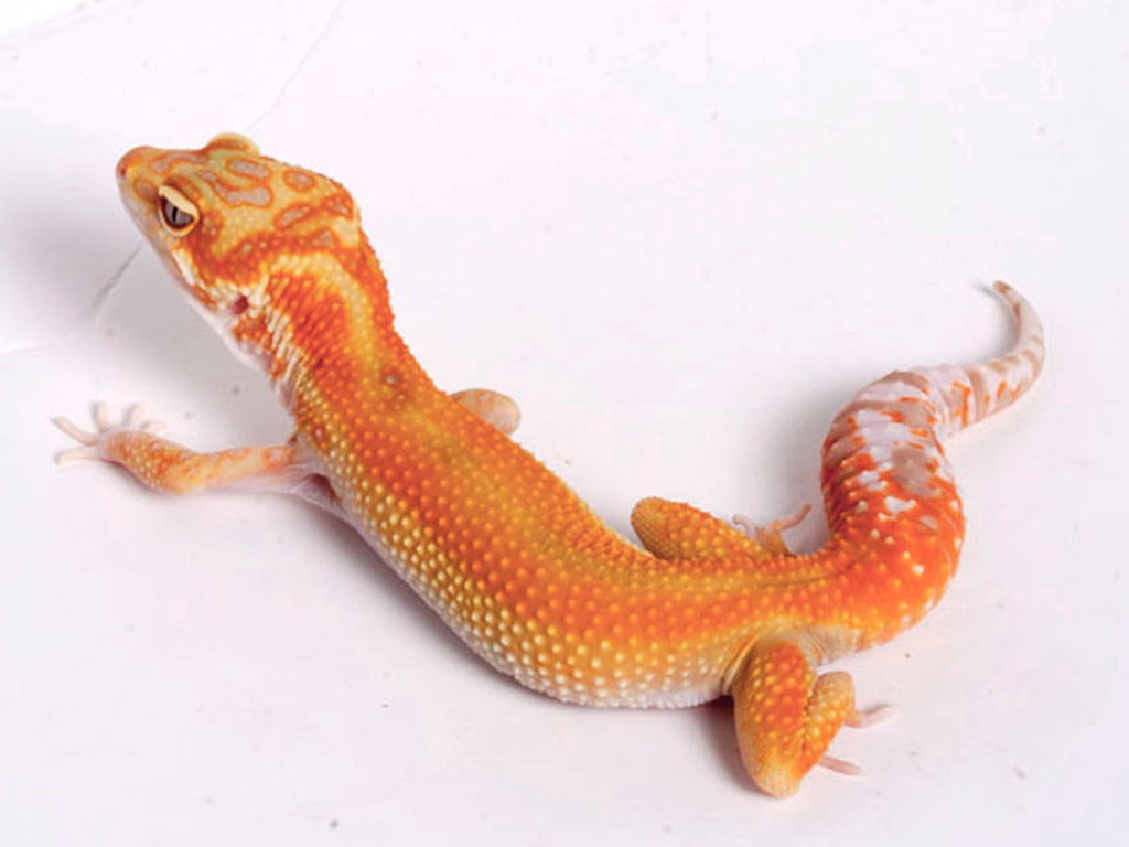 White and Yellow Tremper Albino Tangerine possible het Raptor - 043018a - female