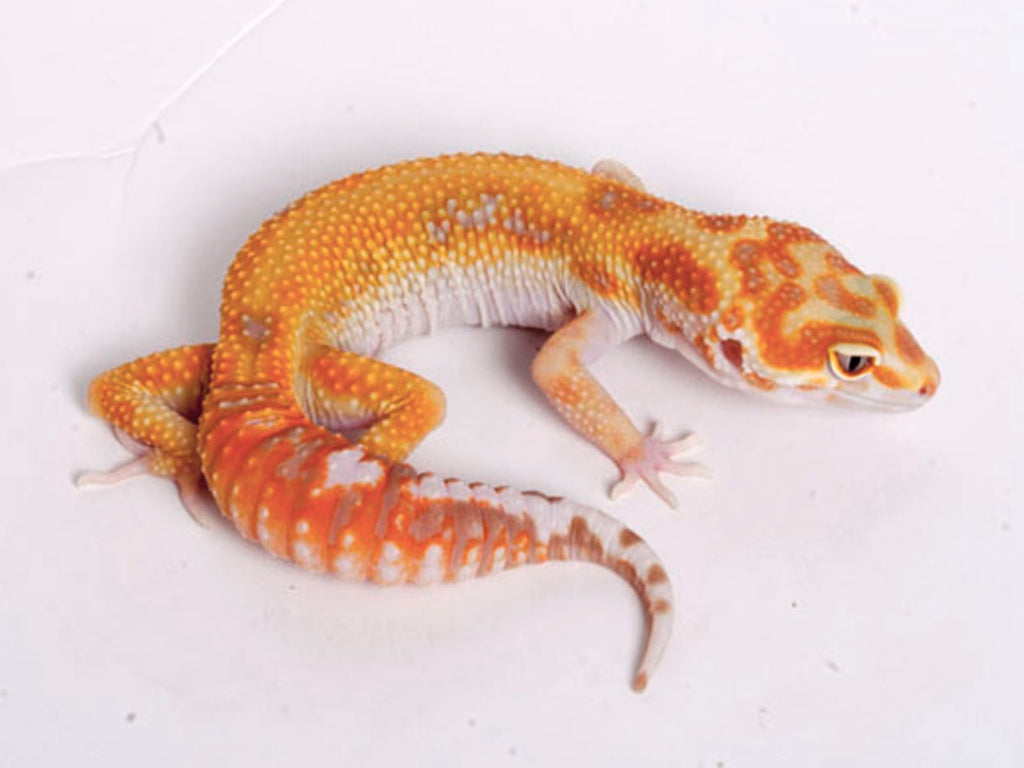 White and Yellow Tremper Albino Tangerine  poss. het Raptor - 070318a - female