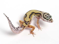 Halloween Mask Emerine Bold Leopard Gecko 041412 - female