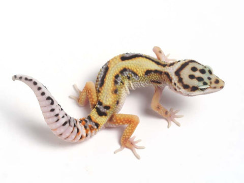 Halloween Mask Emerine Bold Leopard Gecko 042812b - male
