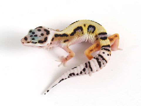 Halloween Mask Emerine Bold Leopard Gecko 041612 - female