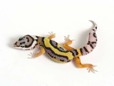Halloween Mask Emerine Bold Leopard Gecko 050612 - female