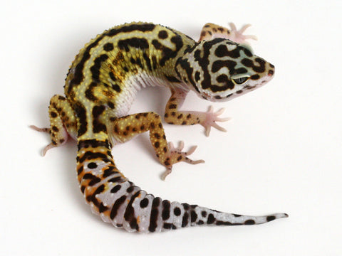Extreme Halloween - Pure Halloween Mask Leopard Gecko - 0060514a - female