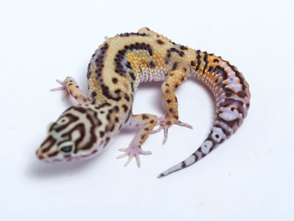 Pure Halloween Mask Leopard Gecko - 062817 - female