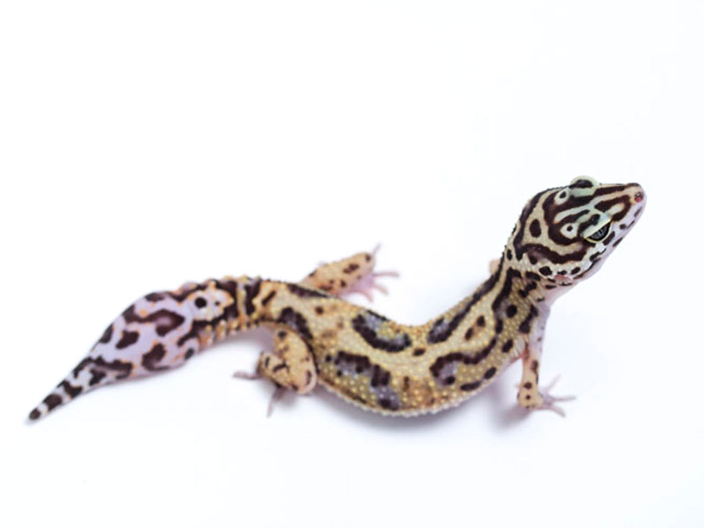 Pure Halloween Mask Leopard Gecko - 072417b - female