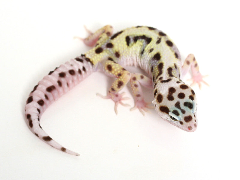 TUG Snow Halloween Mask Leopard Gecko - 082016a - female
