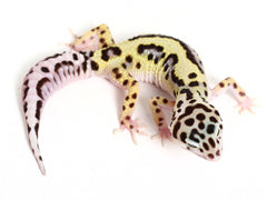 TUG Snow Halloween Mask Leopard Gecko - 082016b - female