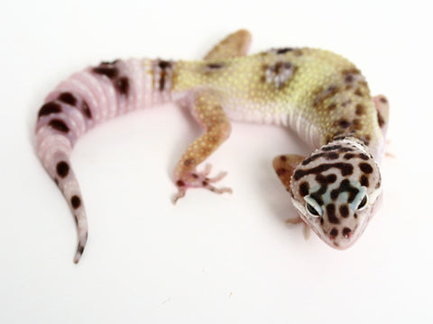 TUG Snow Halloween Mask Leopard Gecko - 082716b - female