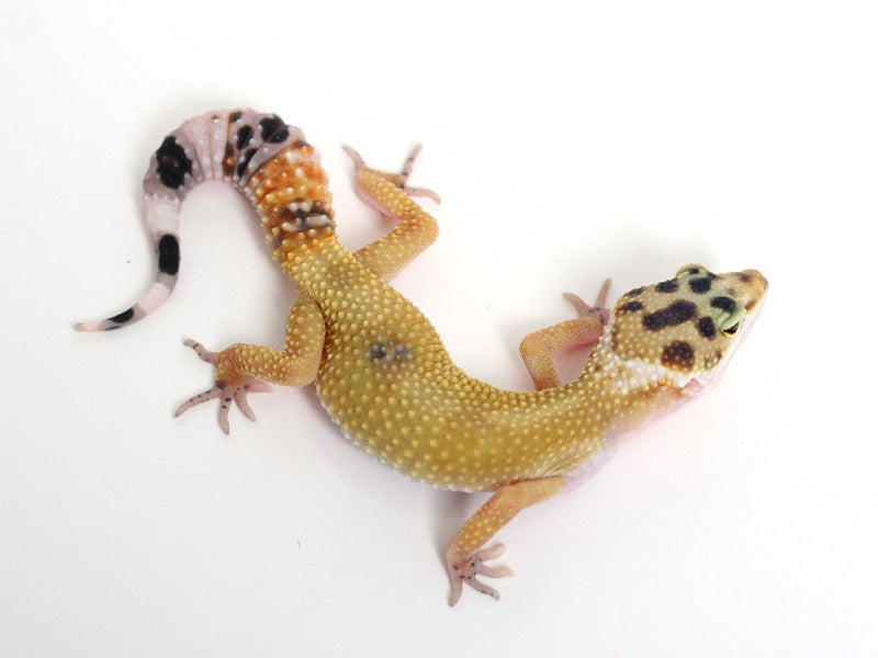 TUG Snow Halloween Mask Leopard Gecko - 100416 - female